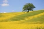 MustardFieldw_Tree(1)[1]